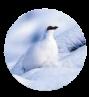 image lagopede-150.png (60.1kB)